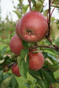 Äpfel vom Stockingergut selber pflücken